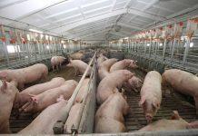 свині свинокомплекс