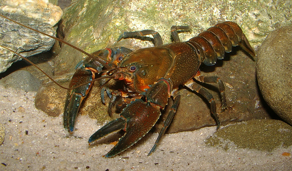 crayfish report Aquatic crayfish report ecobasins where the species occurs ecobasins ozark highlands - white river habitats weight natural riffle: - medium optimal natural run: - medium optimal.