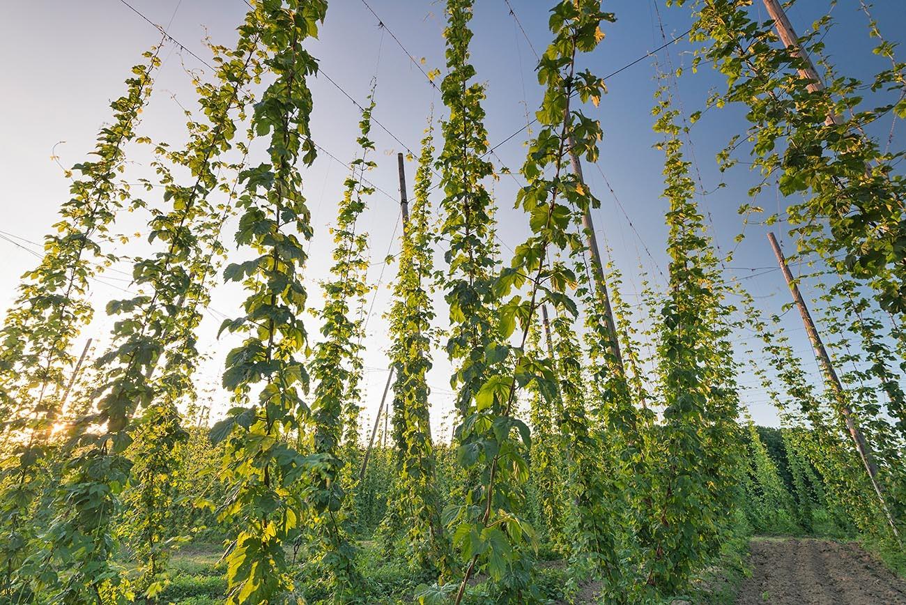 Как вырастить хмель для пивоварения 53